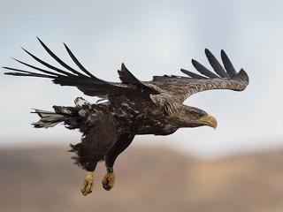White-tailed eagle   Haliaeetus albicilla.