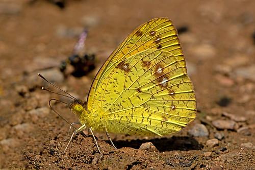 Ixias pyrene - the Yellow Orange Tip (male)