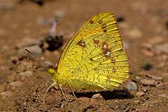 Ixias pyrene - the Yellow Orange Tip (male) (BugsAlive) Tags: butterfly mariposa papillon farfalla schmetterling бабочка conbướm ผีเสื้อ animal outdoor insects insect lepidoptera macro nature pieridae ixiaspyrene yelloworangetip pierinae wildlife chiangdaons chiangmai liveinsects thailand thailandbutterflies ผีเสื้อปลายปีกส้มเล็ก