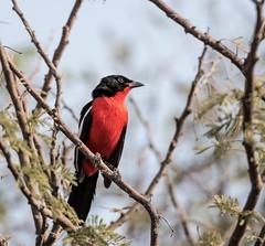 Crimson breasted Shrike (Matt OZW) Tags: namibia bird etosha national park