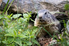 Alpine marmot (Cloudtail the Snow Leopard) Tags: murmeltier parc de animalier sainte croix wildparktier animal säugetier mammal marmota nagetier alpenmurmeltier wildpark tier