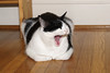 Scout Is Not Impressed (rickcameron) Tags: scout blackandwhitecat cat yawning hardwood