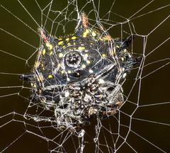 Spiny Orb Weaver Ventral (ScreaminScott) Tags: spinyorbweaver spider arachnid speciesgasteracanthacancriformisspinybackedorbweaver