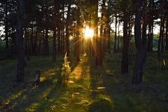 summer moods (JoannaRB2009) Tags: summer mood sun sunlit sunlight forest woods nature natural sunbeams sunrays tree trees plants olsztyn częstochowa polska poland sunset