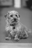 Sitting at attention (VirtualWolf) Tags: animal australia bw beanie bokeh canonef135mmf2lusm canoneos5dmarkiv dog domesticated newsouthwales ourhouse sydney techniques