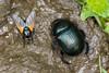 Geotrupes stercorarius & Mesembrina meridiana (Olli_Pihlajamaa) Tags: animalia arthropoda brachycera coleoptera diptera geotrupes geotrupesstercorarius geotrupidae hexapoda insecta invertebrata mesembrina mesembrinameridiana muscidae polyphaga scarabaeiformia scarabaeoidea eläinkunta erilaisruokaiset harvapartakärpänen hyönteiset kaksisiipiset kovakuoriaiset kuusijalkaiset kärpäset niveljalkaiset selkärangattomat sittiäiset sontiainen sukaskärpäset sukaskärpäsmäiset turilasmaiset somero varsinaissuomi finland fi
