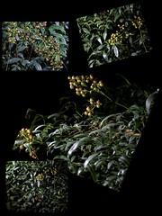 Nandina Domestica II (jalexartis) Tags: nandinadomestica nightphotography night nightshots lighting shrub shrubbery camranger lumecube