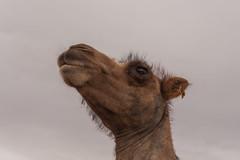 1706_mbe_mongolia_ömnögov_tsogt ovoo_022 (Marcel Berendsen - The Netherlands) Tags: asia asian azie camelusbactrianus mongolia mongolian mongolië travel tsogtovoo world agrarisch agricultural agriculture bactraincamel camel camels caprine countrified desert farming gobi gobidesert kameel kamelen landelijke landscape landschap rural rustic scenery scenic travelphotography woestijn ömnögov