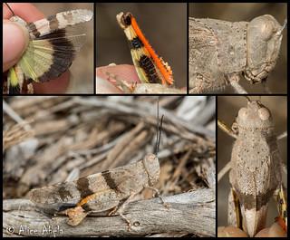 Barren Land Grasshopper (Trimerotropis pistrinaria) - Male
