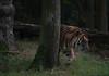 _FT01390.jpg (danse2f) Tags: tigreblanc d750 nikon septembre zoodecerza cerza 7020028vr2 zoo photoaccess tigredesumatra 2017 albumdédié