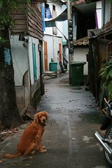 keeping an eye on the photographer (the foreign photographer - ฝรั่งถ่) Tags: dog canal path looking khlong thanon bangkhen bangkok thailand canon kiss golden retriever sitting alert watchful