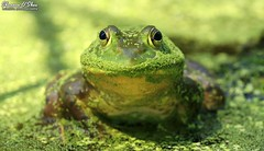 """""""I mustache you a question, but I'll shave it for later."""" (Shannon Rose O'Shea) Tags: shannonroseoshea shannonoshea shannon americanbullfrog bullfrog frog duckweed canal wildwoodlake harrisburg pennsylvania colorful outdoors outdoor water green nature wildlife lithobatescatesbeianus amphibian art wild wildlifephotography photo photography closeup close canon canoneos80d canon80d eos80d 80d canon100400mm14556lisiiusm eyes mustache fauna shannonosheawildlifephotography herpetology flickr wwwflickrcomphotosshannonroseoshea"""
