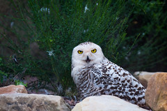 Snowy owl (Cloudtail the Snow Leopard) Tags: schneeeule zoo karlsruhe tier animal vogel bird eule snowy owl bubo scandiacus nyctea scandiaca