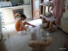 SAM_0140 (Adriano Clari) Tags: gatti cats gatto cat pet allevamento breeder adriano clari