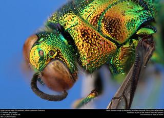 Large cuckoo wasp (Chrysididae, Stilbum cyanurum (Foerster))