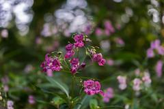 Springkraut (Pippilotta aus dem Tal) Tags: sel55f18z