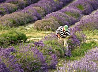 lavender harvest. August 2nd