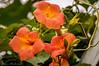 Frelinghuysen Arboretum_0097 (smack53) Tags: smack53 flowers blossoms blooming plants vegetation frelinghuysenarboretum morriscounty morristownship newjersey summer summertime outside outdoors floral nikon d100 nikond100