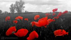 without title (photos4dreams) Tags: poppy field mohn mohnblumen gersprenz münster p4d photos4dreams photos4dreamz bw sw