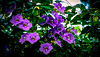 Thunbergia grandiflora. (1) (Aglez the city guy ☺) Tags: flowers experiment colors