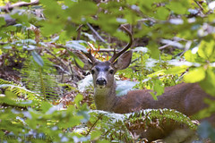 Prince of the Forest (Pablo J. Barillas) Tags: select mule deer redwoods forest
