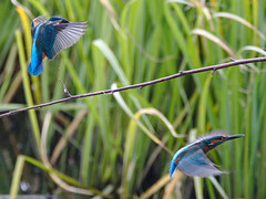 Two for the price of one (stephen.reynolds) Tags: kingfisher brandon marsh wkwt coventry