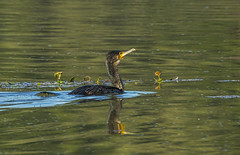 Great cormorant (Bojan Žavcer) Tags: cormorant bird animal wildlife nature blue green orange red eye fauna colorful depthoffield wing abstract color outdoor park water white wild avian beautiful birding space long amazing blur broun exotic fascinant fast flight freedom enviromant perching stick sunlight tailed head lovely canoneos7dmarkii ef600mmf4lisusm greatphotographers