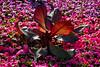 Morning Delight (MrBlueSky*) Tags: plant flower leaf garden nature outdoor colour horticulture kewgardens royalbotanicgardens london aficionados pentax pentaxart pentaxlife pentaxk1 pentaxawards pentaxflickraward petal
