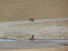DSC00387 (francy_lioness) Tags: safari jeep animals animali ippopotami leone savana gnu elefante iena pumba tanzaniasafari ngorongorocratere gazzella antilope leonessa lioness facocero