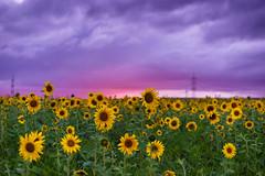 DSC03255-3 (floriankurz) Tags: sonneuntergang sonnenblumen landscape sunset schwarzwald schön himmel farbe farbenfroh wunderschön