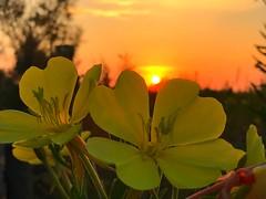 Sonnenaufgang in Italien (Blende2,8) Tags: himmel unionlido sonne blüte blume sonnenaufgang meer strand italien iphone