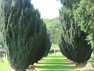 UK - Somerset - Dunster - Priory Church of St George - Yew trees in churchyard
