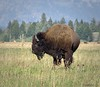 2017-08-18-0242 (mech_rosey) Tags: animal bison country elkranchflats grandtetons location usa wy