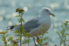 Seagull (chumlee10) Tags: seagull washburn wi wisconsin water weed