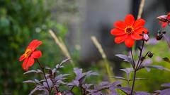 Flowers - 3670 (YᗩSᗰIᘉᗴ HᗴᘉS +8 000 000 thx❀) Tags: flower botanique bordeaux jardin jardinbotanique france hensyasmine flora fleur red