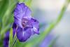 Purple (Thomas DARTIGUES) Tags: flower bokeh dof nikon d600 purple deep field