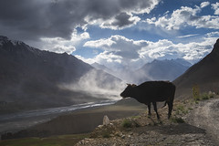 Dust storm at Key Village (Ravikanth K) Tags: 500px dust storm village ki valley key spiti himachal pradesh livestock love stock cow domestic animal outdoor nature day landscape travel india clouds river streams