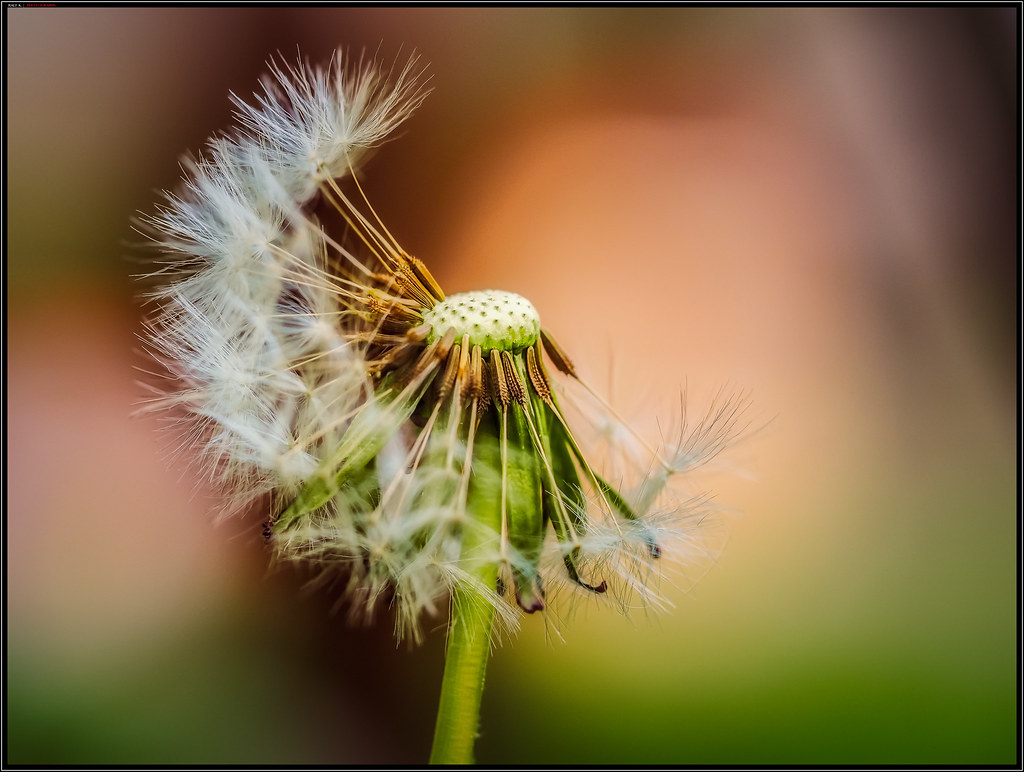 The World S Most Recently Posted Photos Of Blumen And Pusteblume