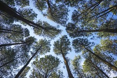 Looking up (Syahrel Azha Hashim) Tags: nature sony shallow holiday nopeople simple morning 2017 details pointofview a7ii lookingup ilce7m2 dof touristattraction prime getaway lowangle canopy nationalpark handheld sonya7 colorimage vacation indonesia perspective light bluesky naturallight 35mm jogjakarta syahrel beautiful travel forest pinetrees outdoor colors leafs talltrees colorful pineforest detail
