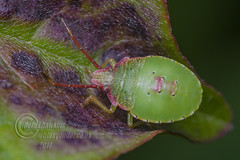 _IMG7377 Hawthorn shield bug (Acanthosoma haemorrhoidale)  5th Instar (Pete.L .Hawkins Photography) Tags: hawthorn shield bug acanthosoma haemorrhoidale 5th instar rowan berries petehawkins petelhawkinsphotography petelhawkins petehawkinsphotography pentax 100mm macro pentaxpictures pentaxk1 fantasticnature fabulousnature incrediblenature naturephoto wildlifephoto wildlifephotographer naturesfinest unusualcreature naturewatcher insect invertebrate 6legs compound eyes creepy crawly uglybug bugeyes fly wings eye veins flyingbug flying beetle shell elytra ground