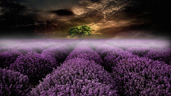 Rise of the Lavender (Carlos Santero) Tags: carlossantero photographer barcelona fotograf spain spanien canon popular inspiration nature photography photoinspiration 500px lavender lavendel lavanda