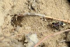 Tachysphex cf pompiliformis f - 04 VIII 2017 (el.gritche) Tags: hymenoptera france 40 crabronidae tachysphex pompiliformis tachysphexpompiliformis female nest predation orthoptera wasp guepe