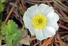 Ranunculus alpestris (Ranunculaceae) 158 17 (ab.130722jvkz) Tags: ranunculaceae ranunculus