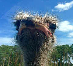 Ostrich (rustyruth1959) Tags: iphone5s iphone europe germany lowersaxony hodenhagen serengetiwildlifepark park wildlifepark animal bird ostrich beak feathers eyes glass nature outdoor sky clouds trees explored inexplore explore