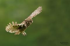 Little Owl (Louise Morris (looloobey)) Tags: c81c1272 littleowl neil hide athenenoctua flight landing earlymorning field