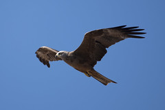 Black Kite (Josh13770) Tags: blackkite raptors milanonegro negro milano eagle eagles birdofprey prey migrans milvusmigrans milvus migration gibraltar black kite coming through europa point lighthouse its way africa aguila