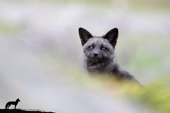 Peekaboo (Megan Lorenz) Tags: silverfox fox foxkit babyanimals animal mammal redfox vulpesvulpes melanistic nature wildlife wild wildanimals travel 2017 newfoundland canada mlorenz meganlorenz