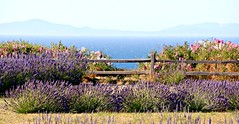 Lavendar Farm (Bella Lisa) Tags: lavenderfarm sequim lavender olympicpenisula lavenderfarminsequim olympicmountains washington