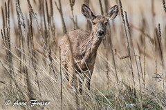 Keeping a watchful eye... (Anne Marie Fraser) Tags: watchfuleye deer nature wildlife colorado wild field watching grass