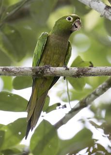 Eupsittula nana / Olive-throated Parakeet